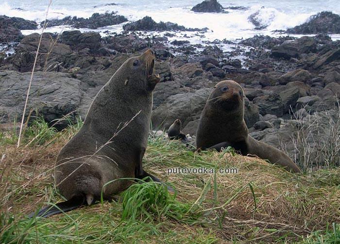 Новая Зеландия. Южный остров. Лежбище тюленей.