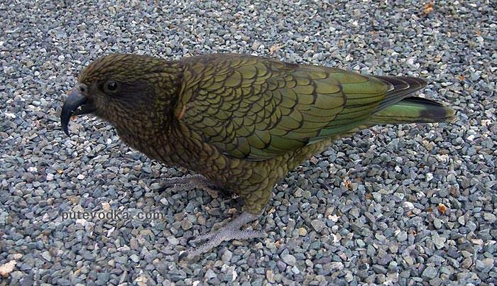 Новая Зеландия. Остров Южный. Попугай Кеа.