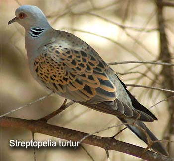 Горлица Streptopelia Turtur
