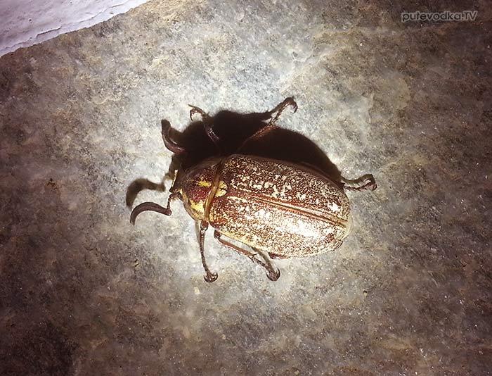 Мраморный майский жук